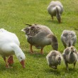 Grazing geese with goslings — Stock fotografie #64253595