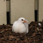 Nesting white dove — Stock Photo