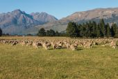 Sheep grazing on field in Southern Alps — Stockfoto