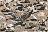 Lakomec kolonie s mladými ptáky — Stock fotografie