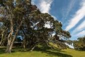 Gnarled Pohutukawa trees — Stock Photo