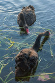 Black swans searching for food — Stock Photo