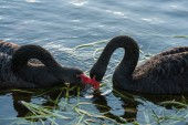 Courting black swans — Stock Photo