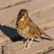 ������, ������: Watchful song thrush