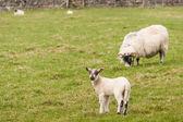 Lamb with grazing ewe — Stock Photo
