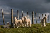 Staring lambs — Stock Photo