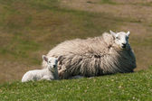Lamb with ewe resting on grass — Stock Photo