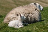Ewe with newborn lamb — Stock Photo