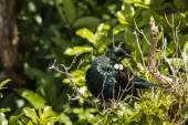Basking tui bird — Stock Photo
