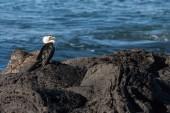 Cormorant on volcanic rocks — Stock Photo