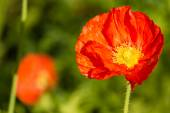Isolated red poppy flower with blurred background — Stock Photo