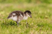 Isolated duckling standing on grass — Foto de Stock