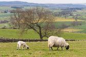 Ewe with lamb grazing on meadow — Stock Photo