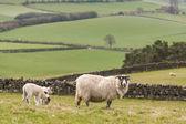 Ewe with grazing lambs — Stock Photo