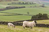 Ewe with grazing lamb — Stock Photo