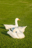 Domestic gooses laying on grass — Stockfoto