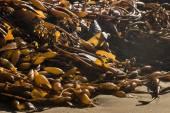 Kelp rotting on beach — Stock Photo