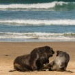 Sea lions in courtship — Stock Photo #67211507