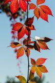 Cerca de colorido vid trepadora hojas — Foto de Stock