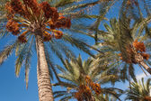 Date palms with ripe fruit against blue sky — Stock Photo