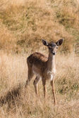 Cautious red deer fawn — Stock Photo