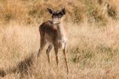 Red deer fawn — Stock Photo
