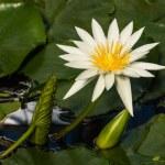 European white waterlily flower head — Stock Photo #71376389