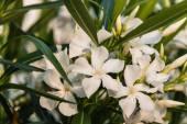 Weißer Oleander Blumen in voller Blüte — Stockfoto