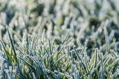 Detail of frosty grass — Stock Photo