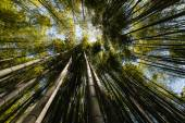 Wide angle view of bamboo forest — Stock Photo