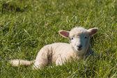 Lamb resting on grass — Stock Photo