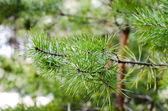 Beautiful green pines — Stock Photo