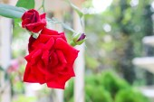 Beautiful red rose flower — Stock Photo