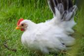 Close up of a White chicken — Photo