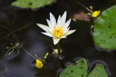 White lotus in water — Stock Photo