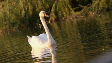 Adult Swan Swimming In Natural Lake — Stockvideo