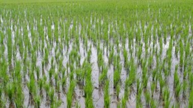 Green Rice paddy crops on a windy day — Stock Video