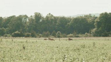Deer graze in an empty field — Stock Video