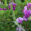 Wide shot of purple snapdragons — Stock Video #70019411