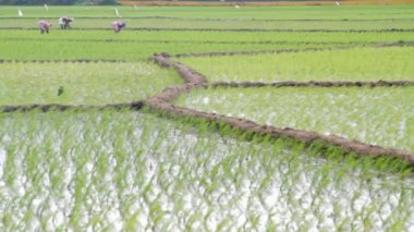 Indian farmers work a rice paddy farm — Stock Video