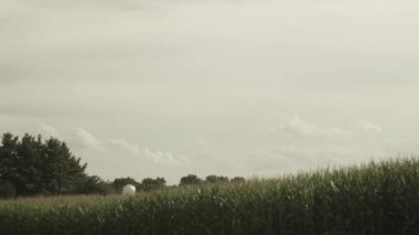 Wide establishing cornfield and sky — Stock Video