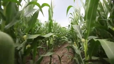 Walking through a cornfield — Stock Video