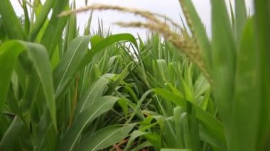Wide green corn stalk leaves — Stock Video