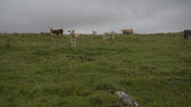 Cattle graze on top of grassy hill — Stock Video