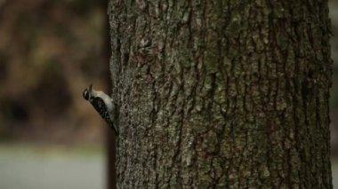 A hairy woodpecker pecks on a tree — Stock Video