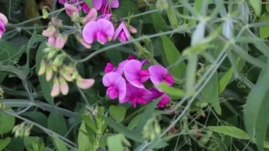 Wide shot of purple snapdragons — Stock Video