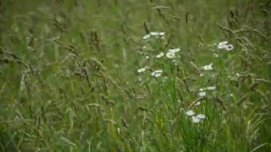 Wild flowers in a field of hay — Stock Video