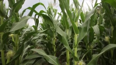 Corn stalks blowing in the wind — Stock Video
