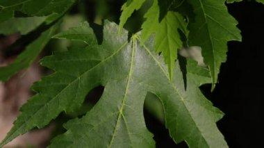 Zilver esdoornblad waait in de wind — Stockvideo