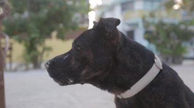 A stray black dog barks and walks off camera — Stock Video